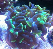 Meerwasser Korallen Euphyllia paraancora - Hammerkoralle