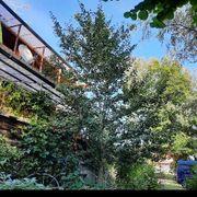 Ginkgo-Baum ca 8m hoch