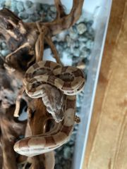 Boa Constrictor Imperator Motley Jungle