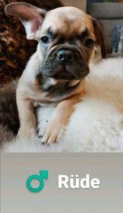 Wunderschöne französische Bulldoggenwelpen