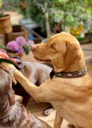 Labrador Deckrüde