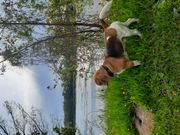 Beagle Rüden zum Decken