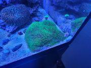 Korallenableger zu verkaufen Meerwasser
