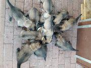 Belgische Schäferhund Welpen - Malinios
