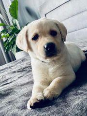 Labrador Welpe Schneeweiß