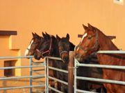Pferdewirt/Stallhelfer für
