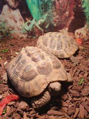 2 Grichische Landschildkröten abzugeben