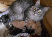 maincoon kitten babys waldkatzen