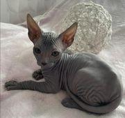 Reinrassige Don Sphynx Kitten mit