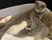 5 BKH Scottish Fold Kitten