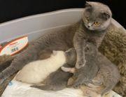 4 BKH Scottish Fold Kitten