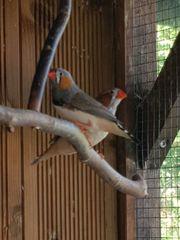 Zebrafinken und Kanarienvögel