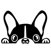 Suche Boston Terrier