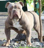 Old Englisch Bulldog Deckrüde