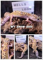 Leopardgecko 0 1 WY Snow
