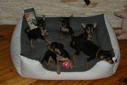 Toy Terrier Welpen