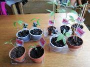 Chili und Tomaten Jungpflanzen
