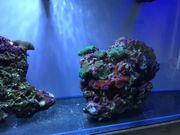 Meerwasser Lebendgestein Riffgestein mit Scheibenanemonen