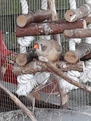 Suche Schwarzwangen-Henne und eine Kanarien-Henne