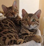 Extrem verschmuste exclusive Bengal Kitten