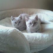 Britisch Kurzhaar Kitten (