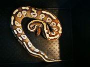 Python Regius Mojave het Ghost