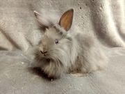 Tolle Löwenkopf Kaninchen Babys mit