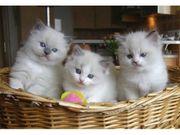 Ragdoll Kitten kräftig gesund