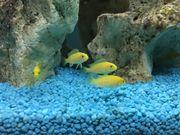 Nachwuchs 12 gelber Labidochromis Yellows