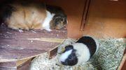 2 süesse Meerschweinchenjungs in liebevolle