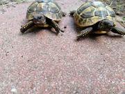 Testudo hermanni- griechische Landschildkröten