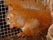Junge europäische Eichhörnchen