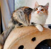 Traumhafte BLH Bengal Kitten Suchen