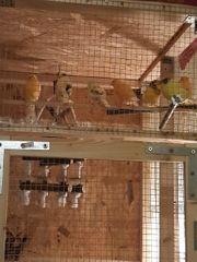 Kanierenvögel