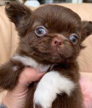 Chihuahua Schoko langhaar Welpen