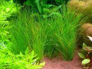 Diverse Süßwasserpflanzen