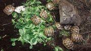 Maurische Landschildkröten DNZ 2019 Graeca