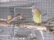 Pflaumenkopfsittich übergossen NZ 2020