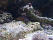 Schleimfisch Salarias Ramosus Meerwasser Algenfresser