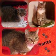 Wunderschöner Kater Santa 2 Jahre