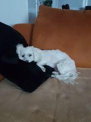 Malteser In Berlin Hunde Kaufen Verkaufen Auf Quoka De