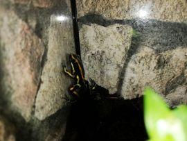 Reptilien, Terraristik - Dendrobates truncatus 39EUR
