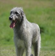 Irish Wolfhound House of majestic