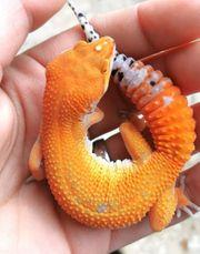 leopardgeckos aus 2019 Hamm möglich