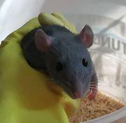 Männliche Ratten abzugeben
