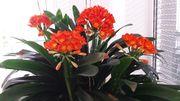Pflanzen Clivien