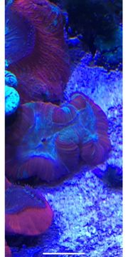 trachyphyllia trachy Koralle lps