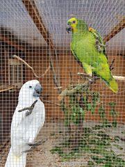 Gebe Kakadus ein schönes Zuhauses