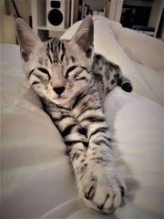 Bengal Kitten - Kater - Silber - Rassekatze