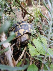 4- jährige griechische Landschildkröten THB